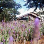 Lavandário Pedra Azul será a nova atração de Espírito Santo e já funciona como casa de campo