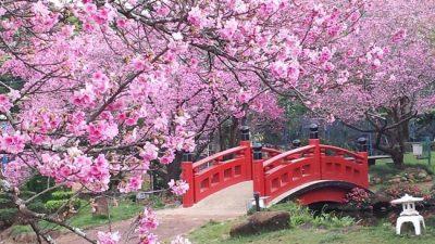 Bosques de cerejeiras no Brasil resgatam a paisagem e o legado do Japão